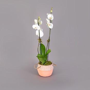 Phalaenopsis Line III