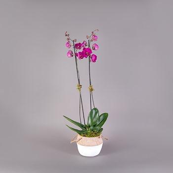 Phalaenopsis Line IV