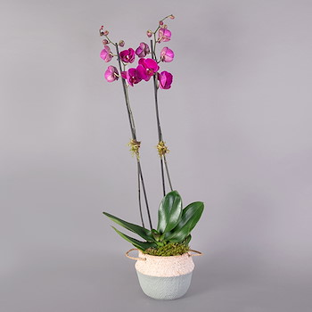 Phalaenopsis Line V