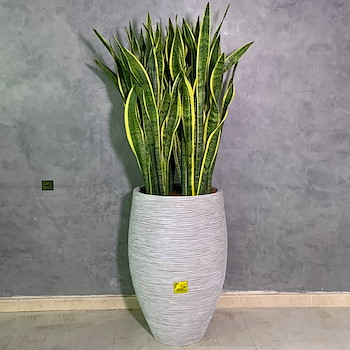 Snake Plant Arrangement