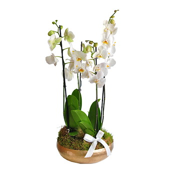 Sia Orchids Small