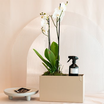 Orchid With Gifts
