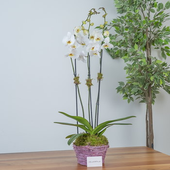 The Orchid Love I