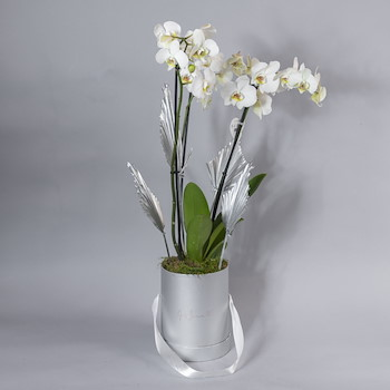 Silver Moth Orchid