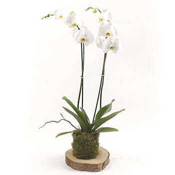 Wooden Orchid White