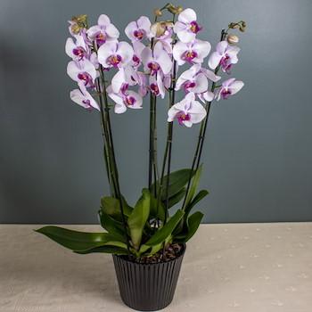 Lyka Flower