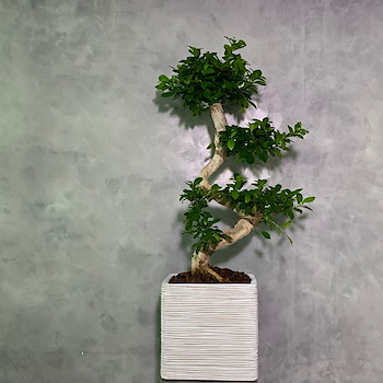 Notagy Bonsai