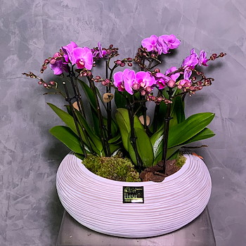 Orchid Pink Plant