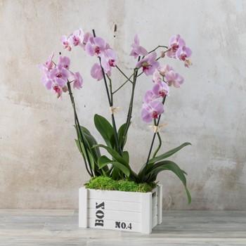 Phalaenopsis Box