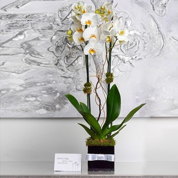 Lady Lopsis Bloom