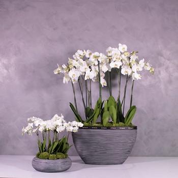 Orchids Capi Black